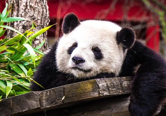 熬夜當熊貓的理由