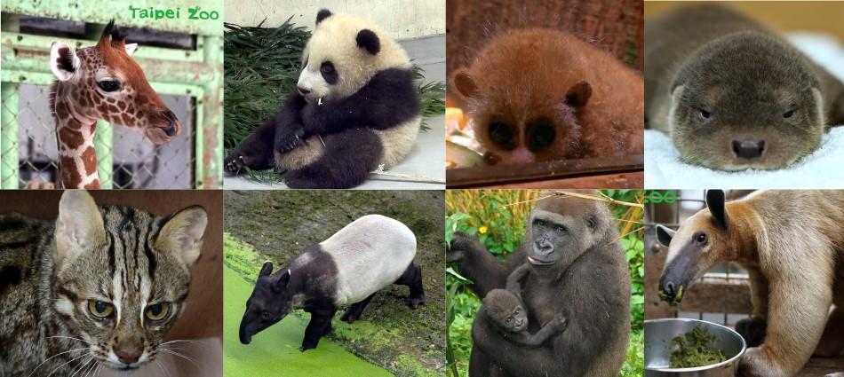 只知道團團、圓圓就太遜啦!木柵超療癒「動物園寶寶」人氣大PK