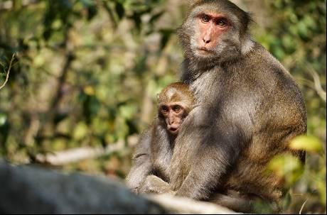 人類說了算?台灣獼猴因為做了這些事 將從保育類動物除名