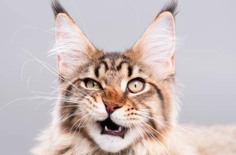 厭世臭臉到底像誰?你家的貓脾氣差其實都是「學你的」!