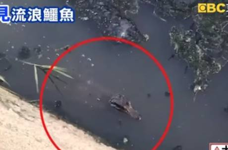台南大排驚見1米鱷魚曬太陽!住戶連看2個月還讚:越長越大!
