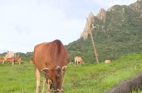 小牛遭肢解慘死…母牛目睹崩潰哀號 刑警嘆「30年沒看過」