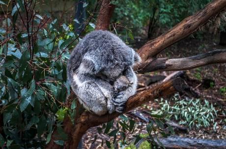 野火燒不停/澳洲國寶無尾熊死傷慘重 恐列入「瀕臨絕種」名單