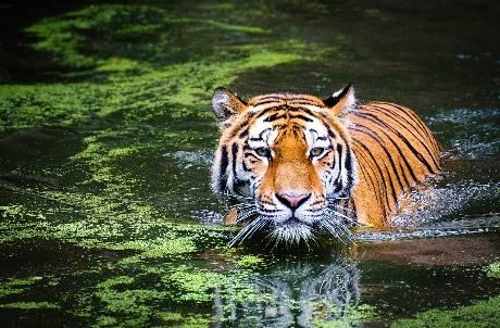 全球首例! 紐約動物園老虎確診武漢肺炎 遭無症狀照護員傳染