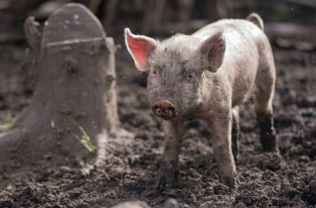 一波未平一波又起!中國現「豬傳人」新型流感病毒 已有豬農感染恐大爆發