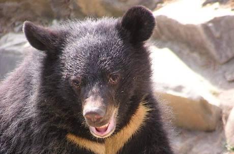 盜伐山林還捕保育類!惡質山老鼠集團 獵台灣黑熊還拍照炫耀