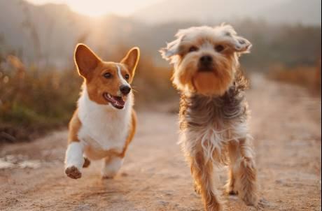 主人確診後寄養 日本首例寵物狗驗出新冠肺炎陽性