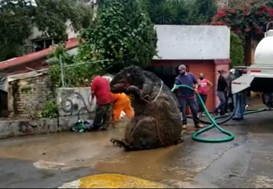 想嚇死誰?墨西哥下水道清出「巨型老鼠」 主人急認領