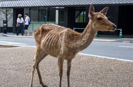 奈良鹿恐患「仙貝依存症」  沒遊客不吃草瘦成皮包骨