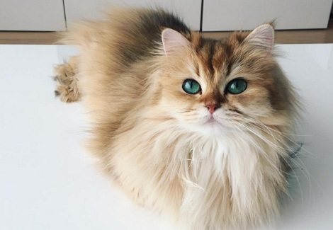 世界上最優雅的貓,貓界林志玲在這兒!