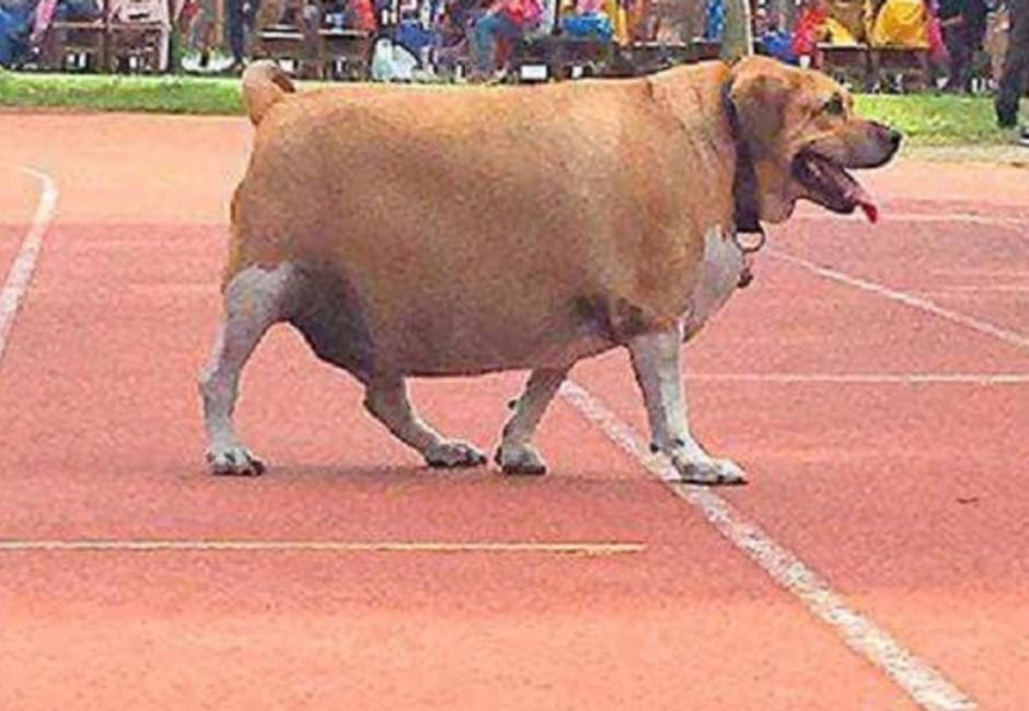 好幾個阿嬤一起養!校犬胖到被網友懷疑狗生:這是牛吧?