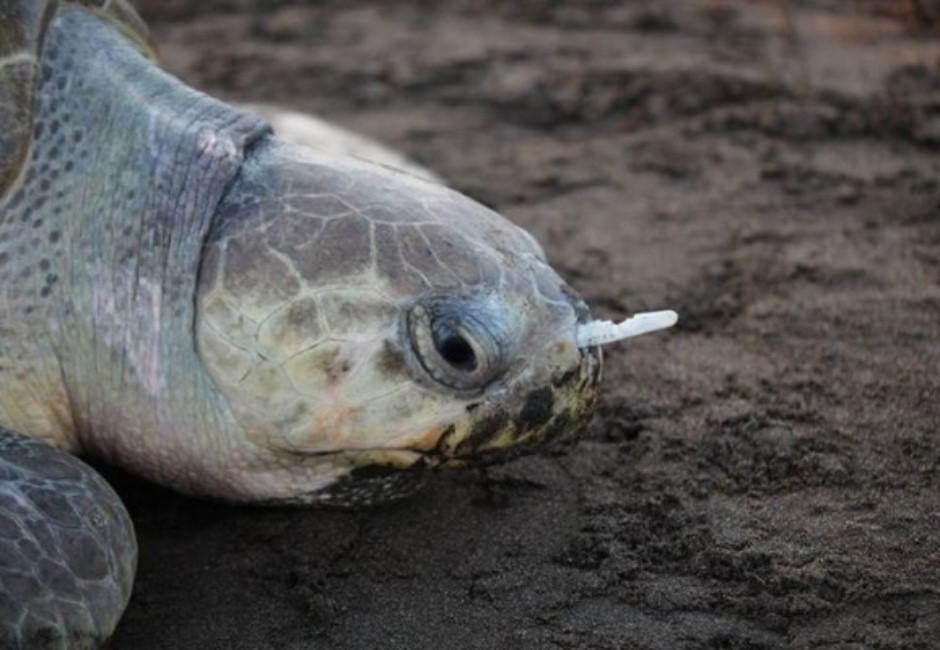 用甘蔗吸管能救海龜?他要大家別傻了 做不到這8字海龜更崩潰