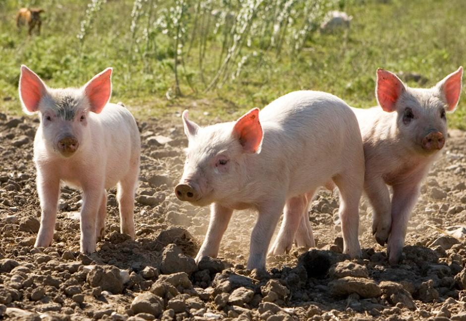 人吃下感染豬瘟的肉會怎樣?兩張圖告訴你為什麼非洲豬瘟這麼可怕