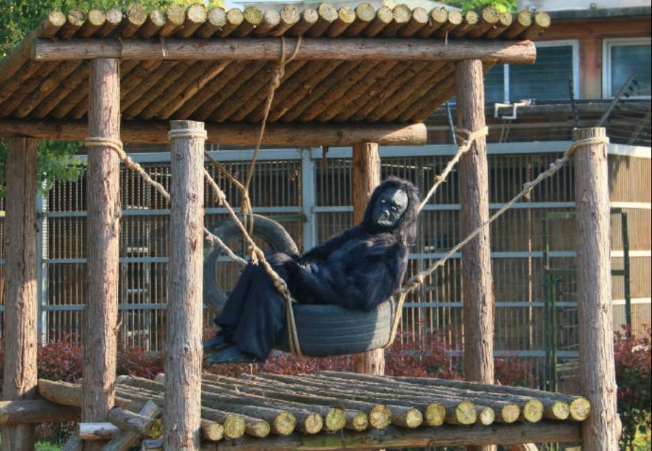 真的是工讀生!動物園請「人」扮猩猩 遊客怒:花錢給我看這個?