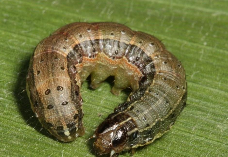 到底什麼是「秋行軍蟲」?一夜飛250km、一產卵破千顆的恐怖「米殺手」