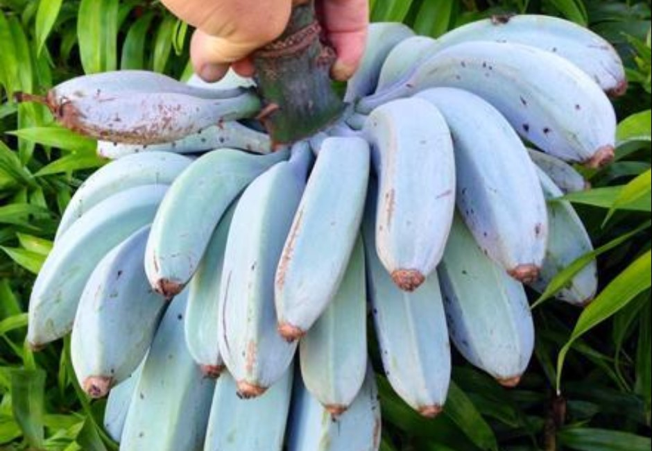 「藍蕉」好吃!冰淇淋口感網盛讚:根本香蕉界的哈根達斯!