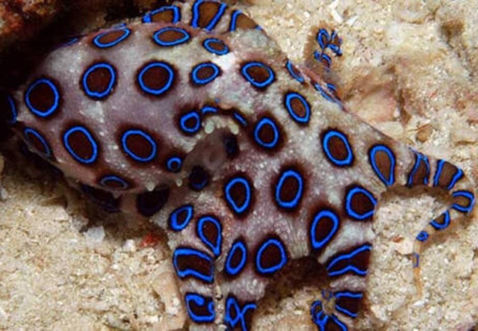 圖/市場買到「豹紋章魚」可愛想吃 一PO網嚇傻狂阻止:比眼鏡蛇還毒