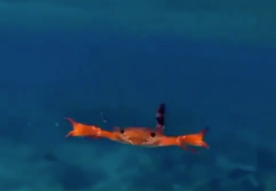 影/螃蟹也會游泳!20秒奇葩泳姿曝光 百萬網友笑瘋:跟我一樣