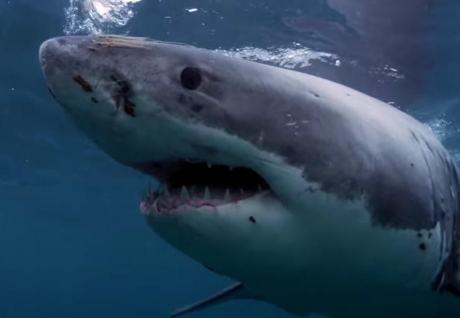 為什麼水族館裡看不見大白鯊?真相背後其實超殘忍…