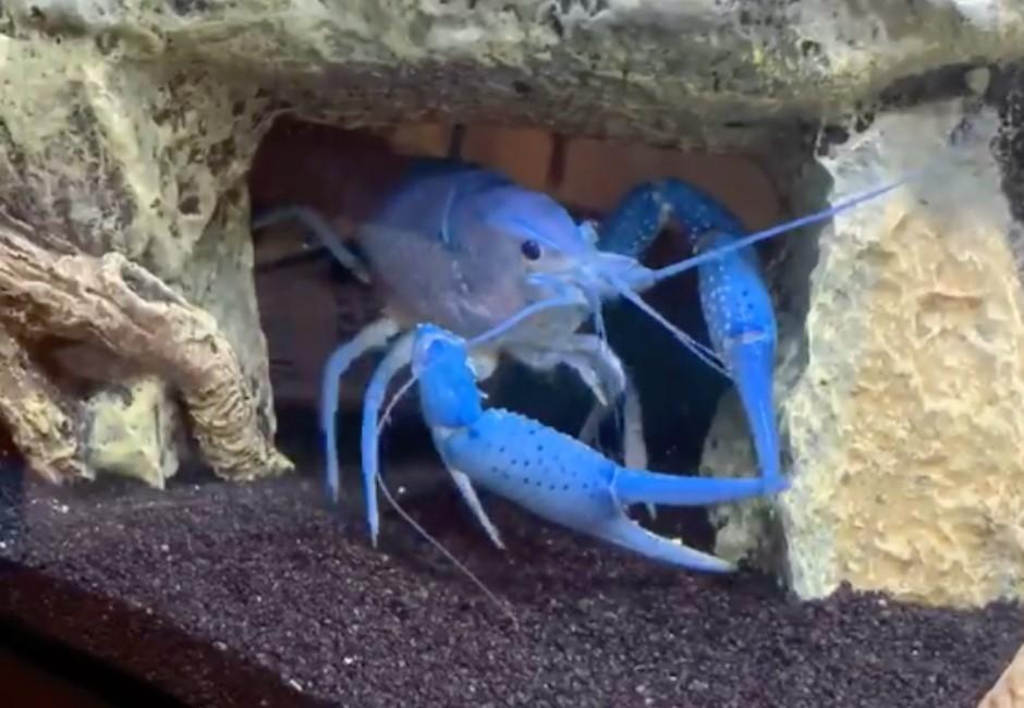 影/藍蝦自夾手痛苦倒地爆紅!台灣人瘋朝聖:玉珍蝦來了
