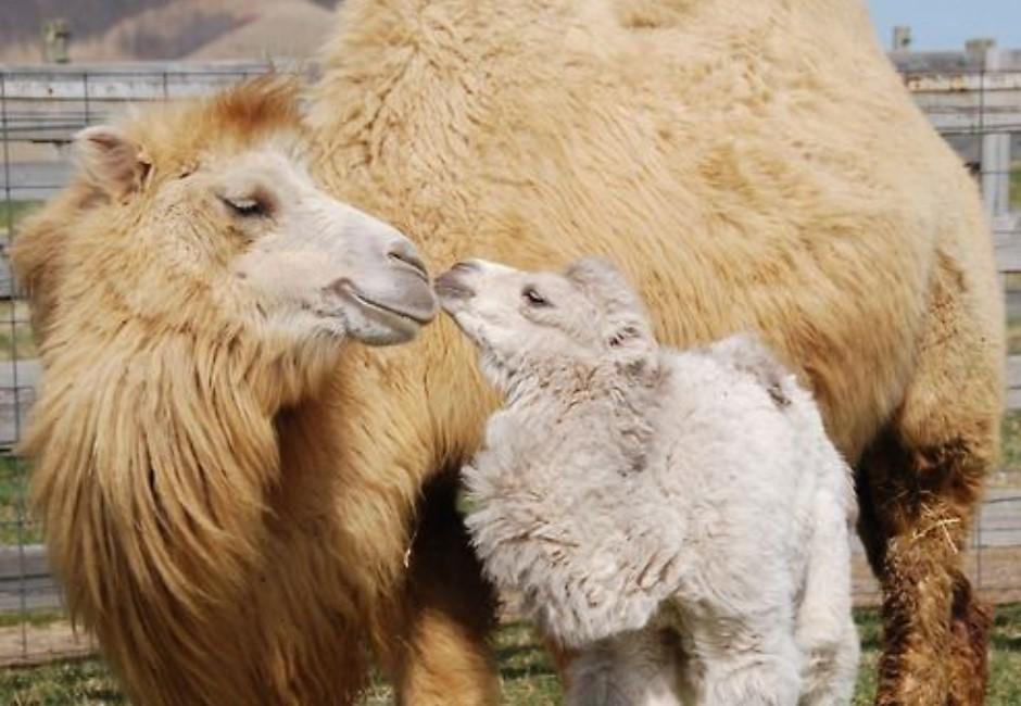 澳洲大火持續延燒 政府下令撲殺1萬頭駱駝