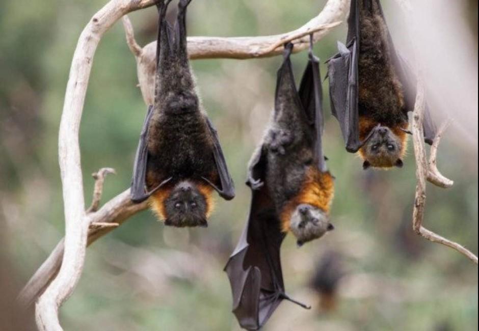 沒在怕!印尼「蝙蝠餐」熱銷 美食達人推:翅膀最好吃