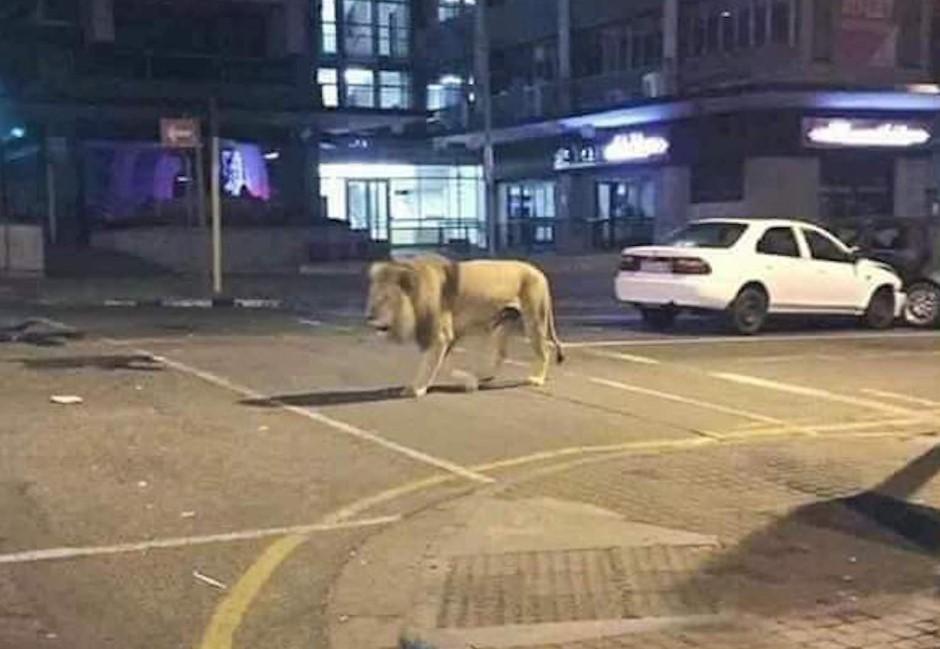 普丁放500獅子防民眾出門?俄羅斯發言人幽默回應