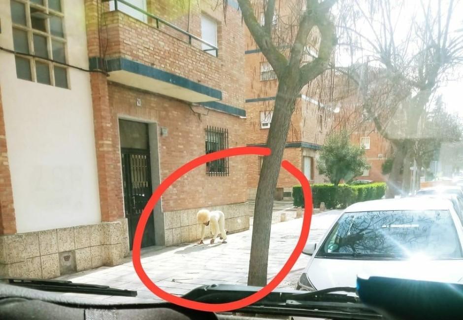 疫情大流行不意外?西班牙人扮狗「遛自己」就是要出門