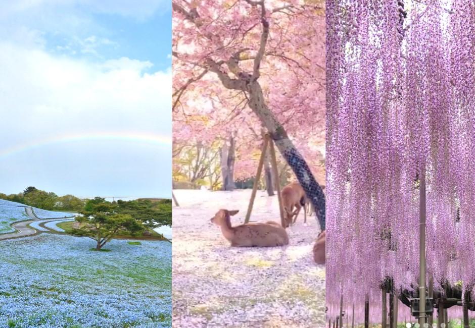 多圖/少了人類變仙境!日本粉色世界、紫藤瀑布絕美畫面曝光