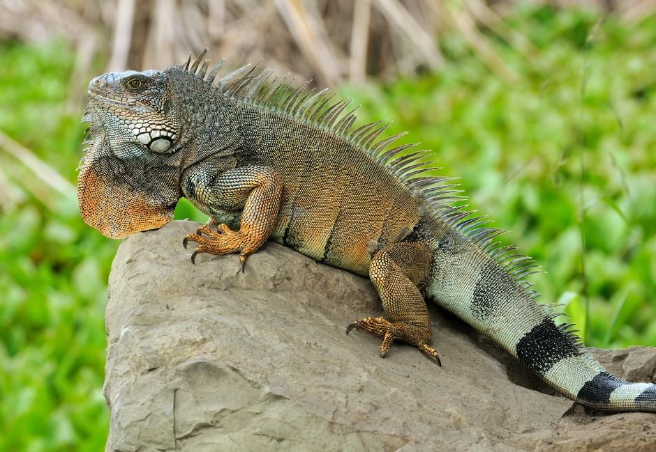 捉捕變虐殺?有害外來種綠鬣蜥掀打獵潮 網焦點轉動保議題:尊重生命