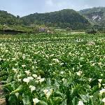 台北陽明山竹子湖海芋