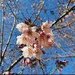 桃園拉拉山恩愛農場櫻花