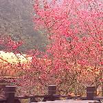 新北烏來櫻花季