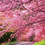 台中武陵農場櫻花